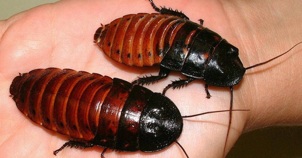 hamam böceği ilaçlama, hamam böceği nasıl ilaçlanır