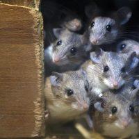 fare ile nasıl mücadele edilir, fareler ile başa çıkma, fare ilaçlaması