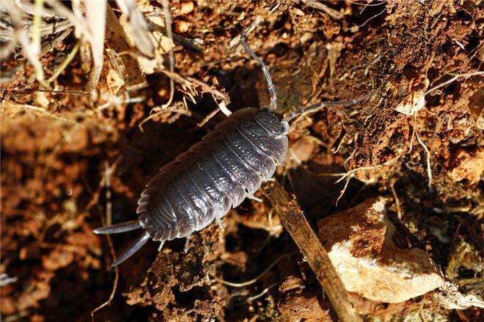 tesbih böceği, tesbih böceği ilaçlaması, tesbih böceği nasıl bir hayvan